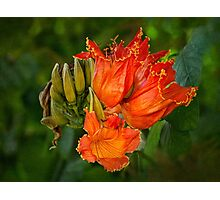 African tulip tree blossoms Photographic Print