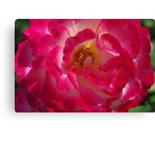 A Rosy Glow - 'Double Delight' Rose Canvas Print