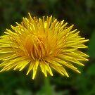 Dandelion - Taraxacum officinale by Evelyn Laeschke