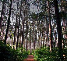 Black Forest Pines by Janet Gosselin