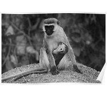 Vervet monkey with baby Poster