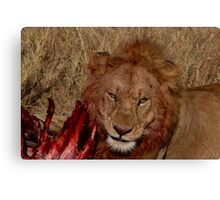 Wild Lion Eating Canvas Print