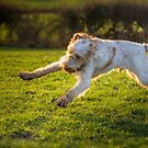 Italian Spinone Woody   by heidiannemorris