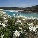 Flannel Flowers, NSW, Australia by Littlebirdy73