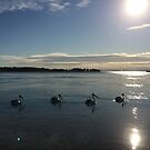 Swanning along Lake Macquarie, NSW, Australia by Littlebirdy73