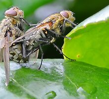 Mating Flies by relayer51