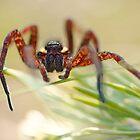raft spider by HannelePhoto