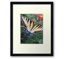 Eastern Tiger Swallowtail (Glaucus) AKA-Tiger Swallowtail Framed Print