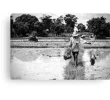 Cambodia:  Working in the Rice Paddy Canvas Print