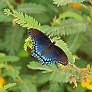 Red Spotted Purple Butterfly by Sandy Keeton