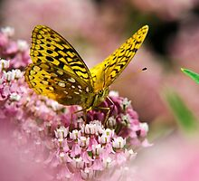 Orange Fritillary Butterfly on Pink Milkweed Flowers by Christina Rollo