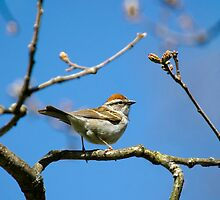 Chipping Sparrow in a Tree by Christina Rollo