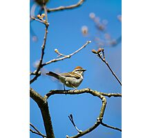 Chipping Sparrow in a Tree Photographic Print