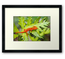 Red Eft Eastern Newt Framed Print