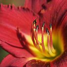 Red Lily Stamens by Linda  Makiej