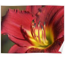 Red Lily Stamens Poster