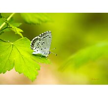 Spring Azure Butterfly Photographic Print