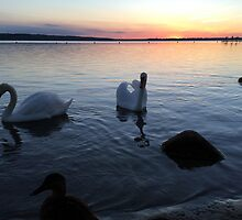 Sunset & Swans by Hekla Hekla