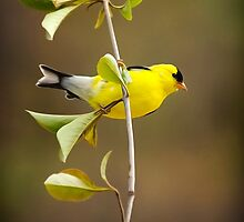 American Goldfinch Painting by Christina Rollo