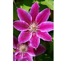 Pink Clematis Flower Photographic Print