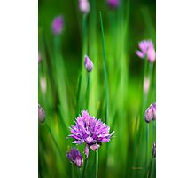 Garden Chives Photographic Print