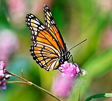 Viceroy Butterfly by Christina Rollo
