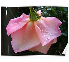 Peachy-Pink Rose After Rain Poster