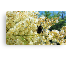 Bumblebee pollinating blossoms Canvas Print