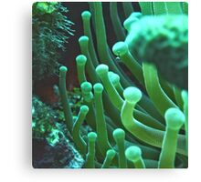 Green Sea Anemone Macro Canvas Print
