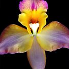 VaVaVa Voom -  Orchid Alien Discovery by ©Ashley Edmonds Cooke
