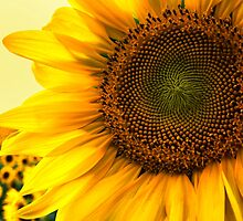 Close Up Sunflower by KellyHeaton