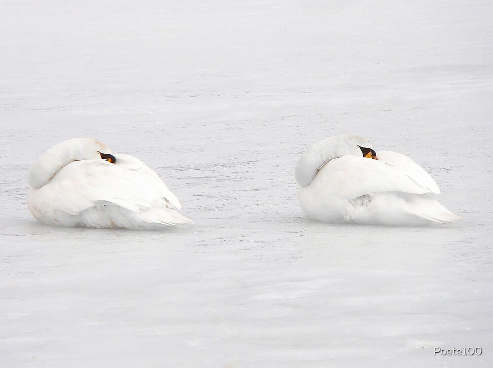 Sleeping swans by Poete100