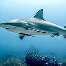 Caribbean Reef Shark by Robbie Labanowski