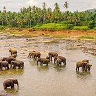 Elephants at the River - Pinnawala Sri Lanka by TonyCrehan