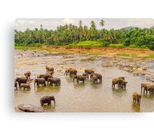 Elephants at the River - Pinnawala Sri Lanka Canvas Print