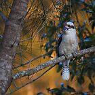 Good Morning Mr. Kookaburra by myraj