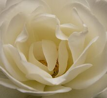 White Rose by Anna Calvert