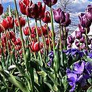 Tulips (3) by Wolf Sverak