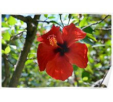 Red hibiscus flower and green leaves background Poster