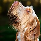 Italian Spinone ~ Orange & White by heidiannemorris