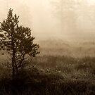 16.8.2014: Pine Trees, Summer Morning by Petri Volanen