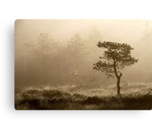 16.8.2014: Pine Tree, Summer Morning II Canvas Print
