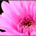 Pink Chrysanthemum by Emjay01