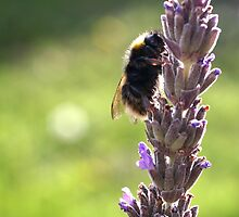 Bee and lavender by Morag Anderson