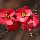 Yum - Flowering Quince by Joy Watson