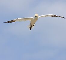 Floating, A gannet flies overhead by Andrew Jones