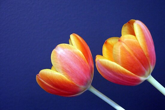 Two Tulips by Tiffany Dryburgh