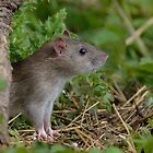 Brown rat by Peter Wiggerman