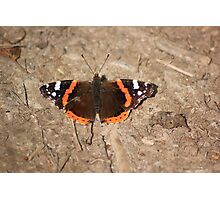 Red admiral on garden path Photographic Print