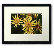 Ragwort Flowers Framed Print